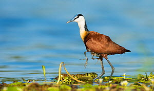 African jacana (Actophilornis africanus) male holding his youngsters safely under his wings whilst walking. Chobe National Park, Botswana. - Wim van den Heever