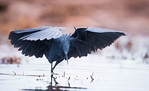 Black heron (Egretta ardesiaca) fishing and using wings to create an area of shade to attract fish, on the banks of the Chobe River, Botswana. - Wim van den Heever