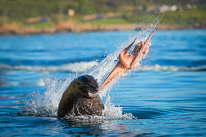 South African fur seal (Arctocephalus pusillus pusillus) bull  breaking apart octopus. False Bay, Cape Town, South Africa. - Wim van den Heever