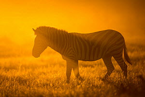 Plains zebra (Equus quagga) at sunset,  Savuti Marsh, Botswana. - Wim van den Heever