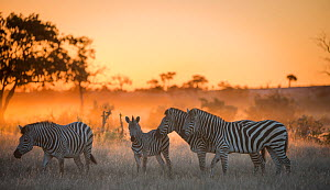 Plains zebra (Equus quagga) group of four including foal at sunset,  Savuti Marsh, Botswana. - Wim van den Heever