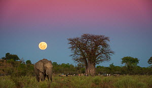 African elephant (Loxodonta africana) grazing in an open field with a full moon rising near Baobab tree (Adansonia digitata). With tourists on safari under the tree.  Savuti Marsh, Botswana, May 2014. - Wim van den Heever