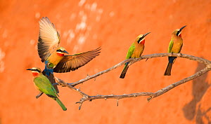 White-fronted bee-eaters (Merops bullockoides) perched near to nesting holes Chobe National Park, Botswana.  -  Wim van den Heever