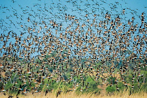 Large flock of Collared pratincoles (Glareola pratincola) taking off from floodplains, Chobe River, Botswana. - Wim van den Heever