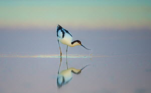 Pied avocet (Recurvirostra avosetta) feeding in shallow water at dawn, Etosha National Park, Namibia.  -  Wim van den Heever
