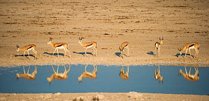 Springbok (Antidorcas marsupialis) herd reflected in waterhole. Etosha National Park, Namibia, June. - Wim van den Heever