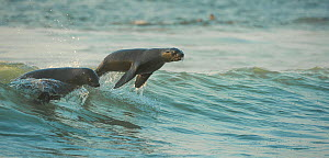 South African fur seals (Arctocephalus pusillus pusillus) surfing out on wave.Walvisbay, Namibia. - Wim van den Heever