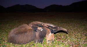 Giant anteater (Myrmecophaga tridactyla) walking with its baby on the back at twilight, Pantanal, Brazil.  -  Wim van den Heever