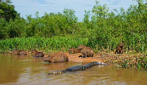 Yacare caiman (Caiman yacare) with a group of Capybara (Hydrochoerus hydrochaeris) These two species often sit together using each other alert each other to potential danger. Pantanal, Brazil. - Wim van den Heever
