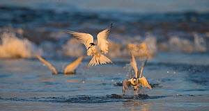 Common Terns (Sterna Hirundo) diving into the waves catching shrimps and other crustations. Walvisbay, Namibia.  -  Wim van den Heever