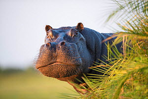 Hippopotamus (Hippopotamus amphibius) out of the water, peering around vegetation. Okavango Delta, Botswana. - Wim van den Heever