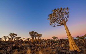 Quiver Tree forest, (Aloe dichotoma) at dusk. Keetmanshoop, Namibia.  -  Wim van den Heever