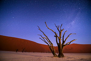 Ancient dead Camelthorn trees (Vachellia erioloba) at night with red dunes behind. Namib desert, Sossusvlei, Namibia. Composite.  -  Wim van den Heever