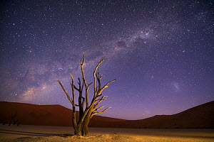 Ancient dead Camelthorn trees (Vachellia erioloba) with red dunes and the milky way behind, Namib desert, Sossusvlei, Namibia. Composite. - Wim van den Heever