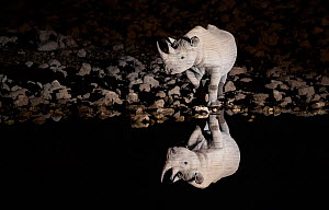 Black rhinoceros (Diceros bicornis) bull having a drink at night with perfect reflections. Etosha National Park, Namibia. Taken with Infrared camera.  -  Wim van den Heever
