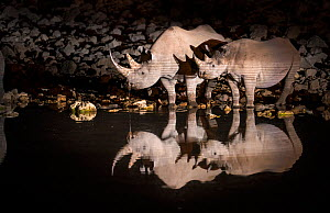 Black rhinoceros (Diceros bicornis) mother and calf having a drink at night with perfect reflections. Etosha National Park, Namibia. Taken with infrared camera.  -  Wim van den Heever
