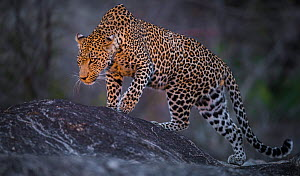 Leopard (Panthera pardus) male walking on a rock. Photographed with a spot light. Greater Kruger National Park, South Africa, July. - Wim van den Heever