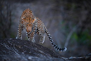 Leopard (Panthera pardus) male walking on a rock. Greater Kruger National Park, South Africa, July. - Wim van den Heever