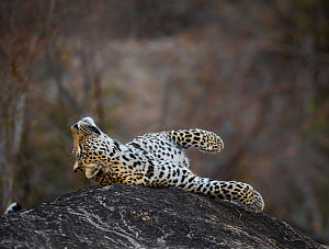 Leopard (Panthera pardus) male rolling on a rock. Greater Kruger National Park, South Africa, July. - Wim van den Heever