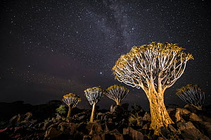 Quiver trees (Aloe dichotoma) with the Milky Way at night, Keetmanshoop, Namibia.  -  Wim van den Heever