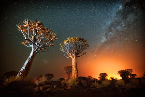 Quiver tree (Aloe dichotoma) with the Milky Way at night, and light pollution from town in the distance, Keetmanshoop, Namibia. Colours accentuated digitally.  -  Wim van den Heever