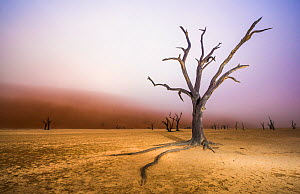 Ancient dead Camelthorn tree (Vachellia erioloba) trees with red dunes and mist, Namib desert, Deadvlei, Sossusvlei, Namibia. August 2015. - Wim van den Heever