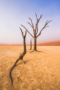 Ancient dead Camelthorn tree (Vachellia erioloba) trees with red dunes, Namib desert, Deadvlei, Sossusvlei, Namibia. August 2015.  -  Wim van den Heever
