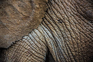 African elephant (Loxodonta africana) close up of skin and ear, Ol�Donyo Kenya. - Wim van den Heever