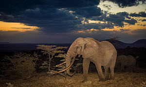African elephant (Loxodonta africana) bull 'One Ton' with massive tusks at dusk, with another behind. Chyulu Hills, Kenya. - Wim van den Heever