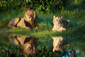 African lion (Panthera leo) male female pair reflected in water, Okavango Delta, Botswana  -  Wim van den Heever