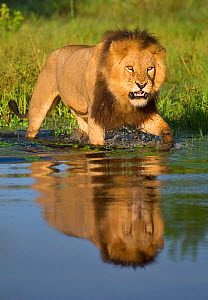 African lion (Panthera leo) growling at potential danger in the water (Panthera leo) Okavango Delta, Botswana. - Wim van den Heever