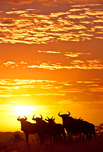 Blue wildebeest (Connochaetes taurinus) herd silhouetted against the rising sun with clouds in the background. Greater Kruger National Park, South Africa - Wim van den Heever