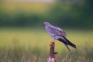Montagu's Harrier (Circus pygargus) male perched., Germany.  -  Hermann Brehm