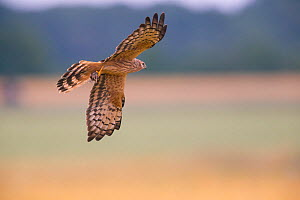 Montagu's Harrier (Circus pygargus) female in flight, Germany.  -  Hermann Brehm