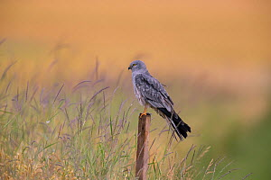 Montagu's Harrier (Circus pygargus) male on post, Germany, June.  -  Hermann Brehm