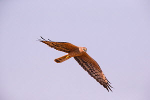 Montagu's Harrier (Circus pygargus) female in flight, Germany. July.  -  Hermann Brehm