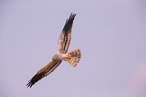 Montagu's Harrier (Circus pygargus) male, Germany. July.  -  Hermann Brehm
