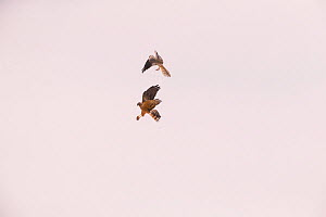 Montagu's harrier (Circus pygargus) male passing food mid-air to female to feed to chicks, Germany. July.  -  Hermann Brehm