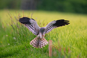 Montagu's Harrier (Circus pygargus) male landing on post  in  grass field. Germany. May.  -  Hermann Brehm