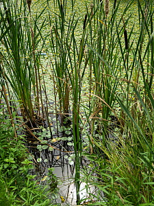 Reedmace (Typha) at edge of pond, St Gobain, France, July. - Pascal  Tordeux