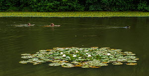 People and dog swimming past a patch of White water lilies (Nymphaea alba) St Gobain forest, Picardy, France, July 2015.  -  Pascal  Tordeux