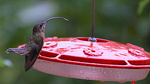 Close up of a Rufous-breasted hermit (Glaucis hirsutus) perched on a nectar feeder sticking out its tongue and flicking its tail, Atlantic Forest, Reserva Ecologica de Guapiacu, Rio de Janeiro, Brazil... - Five Films