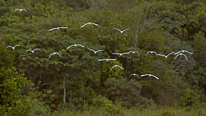 Slow motion clip of a flock of Cattle egrets (Bubulcus ibis) flying over a swamp, Reserva Ecologica de Guapiacu, Rio de Janeiro, Brazil, 2015. - Five Films