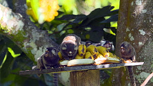 Group of Common marmosets (Callithrix jacchus) eating bananas at a feeding station, Reserva Ecologica de Guapiacu, Rio de Janeiro, Brazil.  -  Five Films