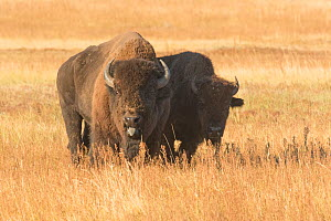 American buffalo (Bison bison) bull with cow herded away from main group and guarding her, Wind Cave National Park, South Dakota, USA, September. - Charlie  Summers