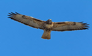 Red-tailed hawk (Buteo jamaicensis) gliding above the Rio Grande River, Bosque del Apache, New Mexico, USA, December.  -  Charlie  Summers
