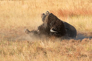 American buffalo (Bison bison) bull dust bathing, Wind Cave National Park, South Dakota, USA, September.  -  Charlie  Summers