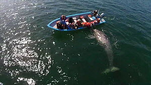 Aerial of a juvenile Grey whale (Eschrichtius robustus) interacting with tourists in a boat, San Ignacio lagoon, Baja California, Mexico, 2015. Web use only.  -  Mark Carwardine
