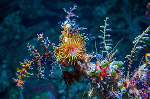 Colonial anemone (Amphianthus nitidus) and Green urn sea squirt (Didemnum molle) on a gorgonian branch.  Lembeh Strait, Sulawesi, Indonesia. - Georgette Douwma