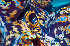 Detail of mantle of Giant giant clam (Tridacna gigas)  Colours come from symbiotic zooxanthellae in tissue,.  Indonesia. - Georgette Douwma